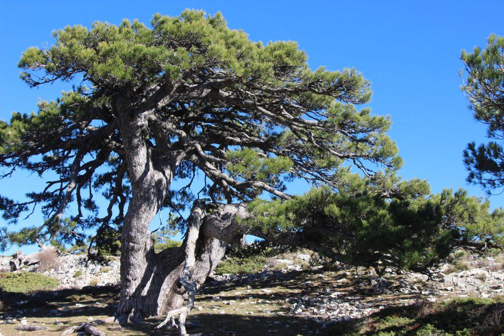 Árboles singulares de la Sierra de Cazorla